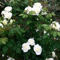 供应白葡萄酒月季月季花大花切花盆栽月季月季工程苗白葡萄酒月季