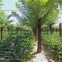 60公分精品大国槐 自己苗圃的苗子 发冒1-3年