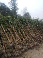 四川宜宾三角梅批发基地,三角梅小苗种植基地