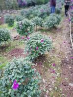 四川宜宾三角梅价格三角梅种植基地三角梅批发三角梅小苗价格