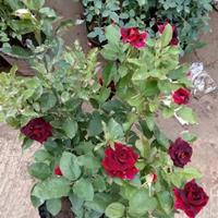 供應黑美人月季 黑美人玫瑰月季花 切花大花月季工程苗