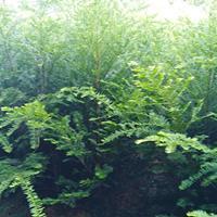 2公分南方紅豆杉
