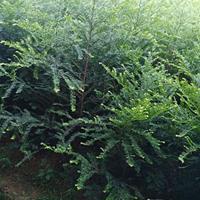 南方红豆杉10万棵