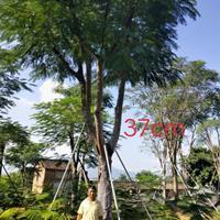 福建凤凰木
