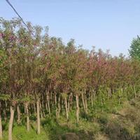 大小规格红槐树基地