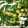 江西九江桂花树,品种多,优质,规格3cm~22cm