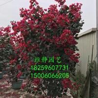福建三角梅四季红(高度2米)哪里好/哪家便宜
