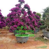 福建三角梅紫色桩景(高度2米)批发/供应