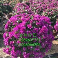 三角梅紫色球(高度1米2)行情报价/三角梅紫色球(高度1米2)图片展示
