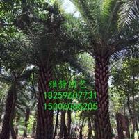 福建供应中东海枣(杆高3米)银海枣规格齐全