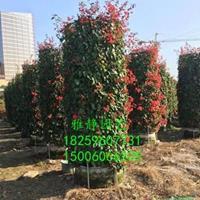 福建柱形三角梅(四季红,高度2米5,冠幅1米2)哪里好/哪家便宜