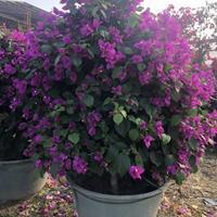 优质特价紫色三角梅2产地直销