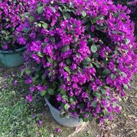 紫色三角梅3行情报价/紫色三角梅3图片展示