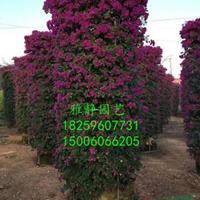 福建[产品]/福建柱形三角梅(紫色,高度2米5,冠幅1米2)价格/报价