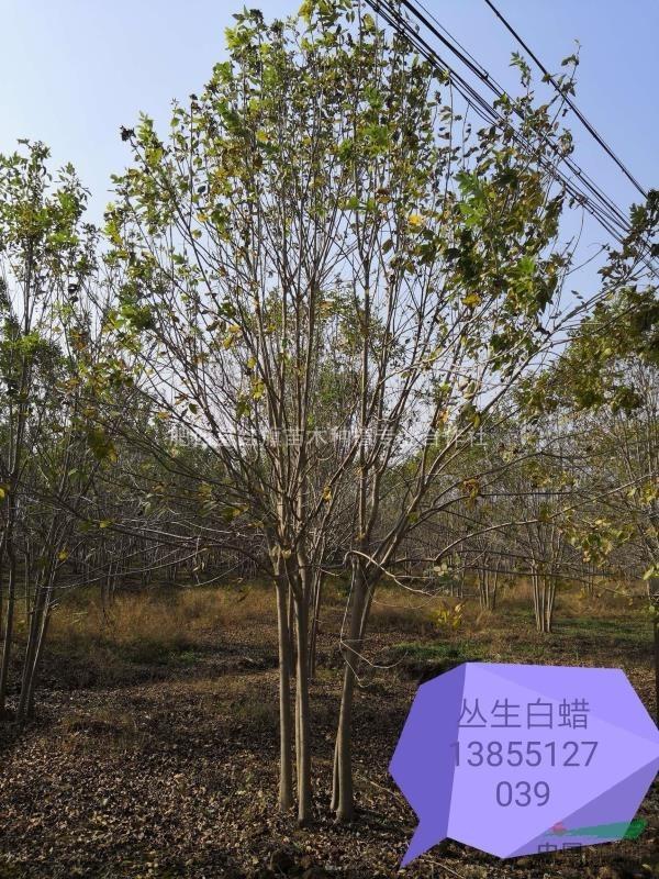 肥西县红旗苗木专业合作社供应5米冠幅丛白蜡