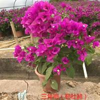三角梅,又名九重葛、叶子花、南美紫茉莉等,花期长,喜温暖湿润