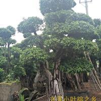 漳州细叶榕价格,市场价不高,细叶榕图片也优美