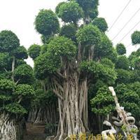 大型榕树盆景,大型景观小叶榕桩头,批发价格低,漳州兴景基地