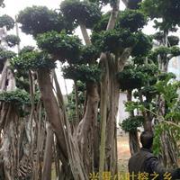 漳州三/四/五层小叶榕树桩头,造型优美,批发价格便宜-福建漳
