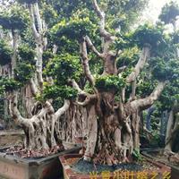 漳州大型榕树盆景,大型景观小叶榕桩头,批发价格低,漳州兴景基