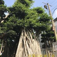 漳州小叶榕树图片优美,造型漂亮,基地价格