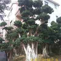 小叶榕树图片优美,造型漂亮,基地价格