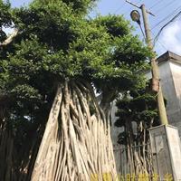 榕树盆景图片优美,造型漂亮,批发市场价格低,基地价格