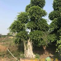 福建榕树盆景图片优美,造型漂亮,批发市场价格低,基地价格