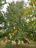 供应1~20公分二乔玉兰,辛荑树等,量大