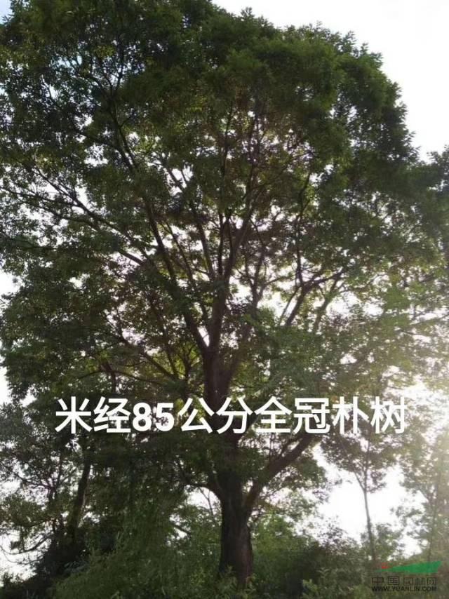 广西低价供应朴树20-100公分/地苗骨架30公分3500元