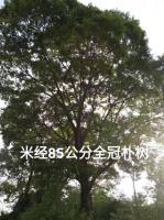 廣西低價供應樸樹20-100公分/地苗骨架30公分3500元
