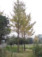 广西大量供应银杏15-30公分