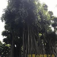 附石头小叶榕树造型盆景批发基地