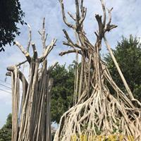 抱石头小叶榕树造型盆景批发基地