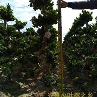 泰国榕小叶榕树造型盆景批发基地