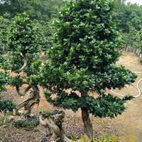 台湾小叶榕树造型盆景批发基地