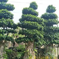 黄金叶提根小叶榕树造型盆景批发基地