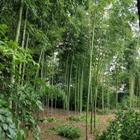 竹子品种大全、刚竹批发销售、银环竹、毛竹、淡竹