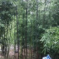 早园竹、金镶玉竹、青竹、翠竹、竹子品种齐全