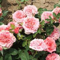 鉆石玫瑰 鉆石玫瑰花小苗 鉆石玫瑰工程苗 造型盆景盆栽 園林