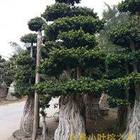 大中小型原叶小叶榕树造型盆景批发基地