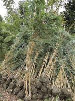2到3米高琴丝竹发货四川人寿,3米高琴丝竹价格。