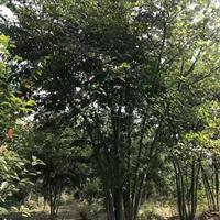 供应丛生朴树30公分~80公分 湖州货源