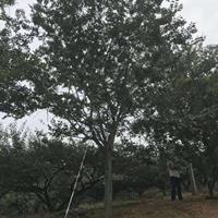 供应朴树单杆12公分~60公分 优质货源