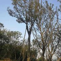 浙江供应单杆60公分朴树 优质货源