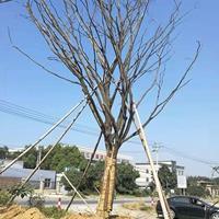 供應品種齊全的單桿樸樹 一手貨源