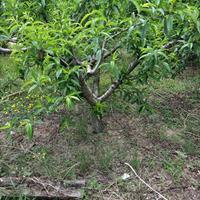 供应桃树价格图片,水蜜桃,蟠桃,江苏桃树基地,桃树苗多少钱