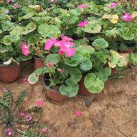山东天竺葵,天竺葵种植基地