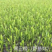 浙江野茭白信息