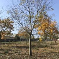 浙江长兴供应朴树,规格:10公分~35公分。